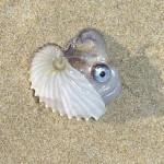 Nautilus with creature inside