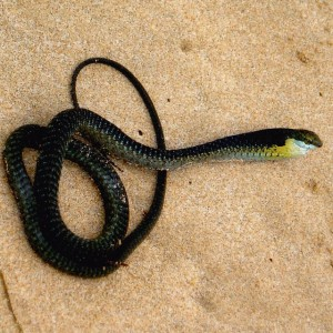 boomslang stunned on the beach