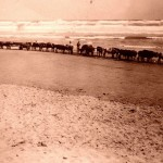Oxen on Noetzie Beach
